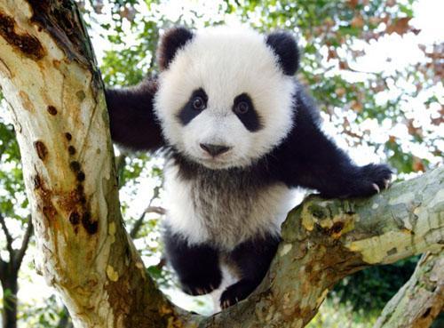 2%國土還給大熊貓們,生態建設濃彩重筆